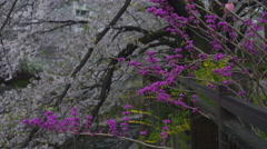 Cherry Blossom Branches and Flowers by a River - Move Right - stock footage
