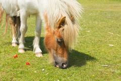 Pony eating strawberries The New Forest Hampshire England UK - stock photo