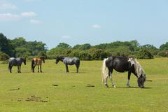 The New Forest Hampshire England UK with wild ponies grazing - stock photo