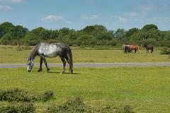 New Forest Hampshire England UK with wild ponies Stock Photos