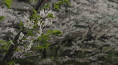 Single Cherry Blossom Branch Stock Footage