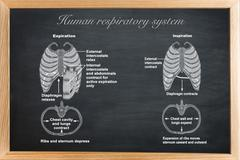 didactic board of anatomy of Human respiratory system - stock illustration