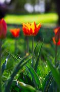 Spring background with tulips over natural background Stock Photos