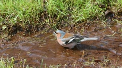 Common chaffinch walks along the stream and selects a place for swimming Stock Footage