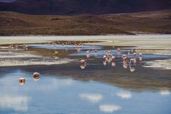 Flamingos eating in the laguna - stock photo