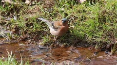 Common chaffinch (Fringilla coelebs) drinking water from a stream Stock Footage