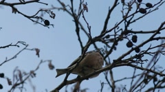 Common chaffinch (Fringilla coelebs) sings a song sitting on a branch Stock Footage