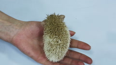Defenseless newborn hedgehog on the human hands  Stock Footage