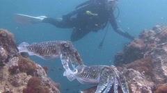 Gentle and temperamental mating dance of Pharaoh cuttlefish. Stock Footage