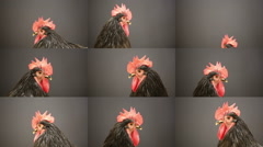 Year of the Rooster  Stock Footage