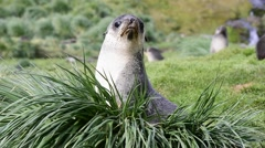 A young fur seal pup Stock Footage