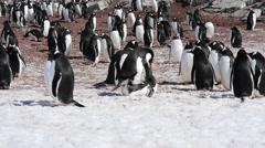 Gentoo Penguin colony - stock footage