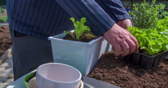 Planting lettice seedlings in a container Stock Footage