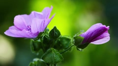 Beautiful violet flowers in garden - Mallow and bud Stock Footage