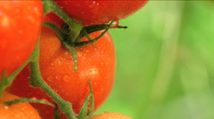 A watered tomato shrub in greenhouse Stock Footage