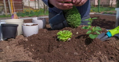 Taking a herb seedling out of a pot plant and putting it into a soil Stock Footage