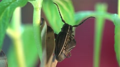Insect Beetle Sitona Bagoinae is weevil subfamily in family Curculionidae, macro Stock Footage
