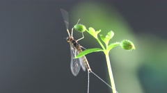 Housefly mayfly, male,  insect on leaf, macro Stock Footage