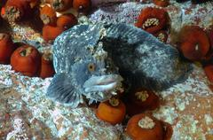 Japanese warbonnet or fringed blenny (Chirolophis japonicus) Stock Photos