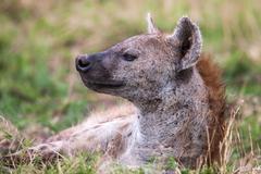 Spotted hyena portrait at first light  (Crocuta crocuta), Stock Photos