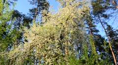 In the Woods the tree blooms white flowers - stock footage