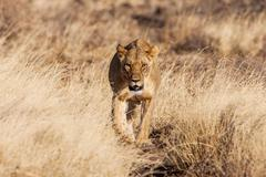 Lioness approach, walking straight towards the camera Stock Photos