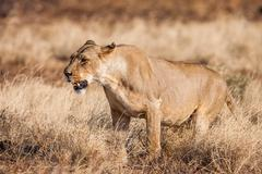 Lioness approach, walking straight towards the camera - stock photo