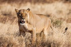 Lioness approach, walking straight towards the camera, - stock photo