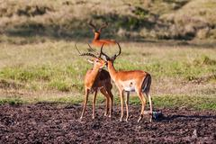 Impala antelope walking on the grass landscape, Africa Stock Photos
