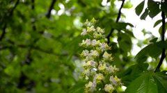 Blooming chestnut tree with water drops on it Stock Footage