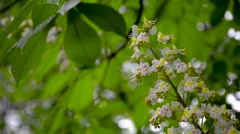 blooming chestnut tree with water drops on it - stock footage