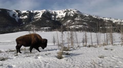 Tracking Shot of Plains Bison Walking in Snow in Winter in Yellowstone Stock Footage