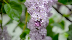 Lilac blossom with drops of water on it Stock Footage