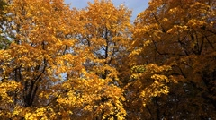 Poplar tree with yellow leaves. 4K. - stock footage