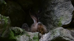 Defecating eagle owl chick / fledgling sitting in nest in cliff face Stock Footage