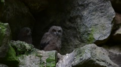Eagle owl chicks / fledglings sitting in nest in cliff face Stock Footage