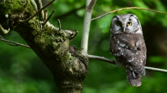 Tengmalm's owl perched in tree and turning head back and forth Stock Footage