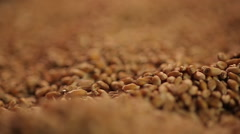 Close-up shot of select wheat grain pouring, country's agricultural production Stock Footage