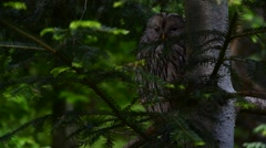 Ural owl (Strix uralensis) perched in pine tree Stock Footage