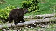 Brown bear walking over fallen tree trunk in forest Stock Footage