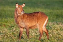 Waterbuck  African Wildlife Background Nature Portrait of Life. Close up - stock photo