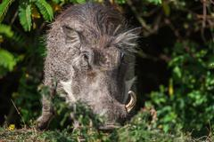 Big warthog with large tusks feeds on his knees in this close up portrait - stock photo