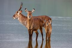 Family of waterbuck, kobus ellipsiprymnus, taking a drink at waterhole. Stock Photos