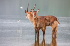 Family of waterbuck, kobus ellipsiprymnus, taking a drink at waterhole. - stock photo