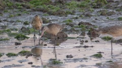 Marbled Godwit Shorebirds Probing Bill in Mudflat in Estuary in Mexico Stock Footage