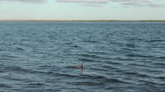 Eared Grebe Waterbird in Ocean in Baja Peninsula - stock footage