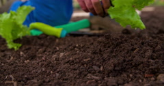 Inserting a lettuce seedling into a soil Stock Footage