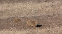 Prairie Dog at Custer State Park in South Dakota Doing Yip Call Stock Footage