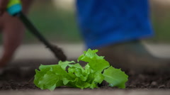 Inserting a nice lettuce seedling into a soil Stock Footage