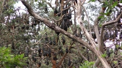 Grey-headed Flying Fox Bat Camp in Eucalyptus Forest Stock Footage